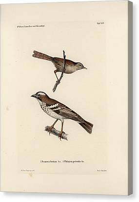 White-browed Sparrow-weaver And Grass Or Bush Warbler Canvas Print