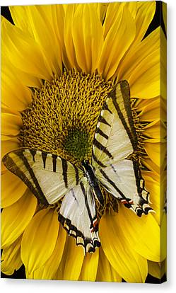 White Butterfly On Sunflower Canvas Print by Garry Gay