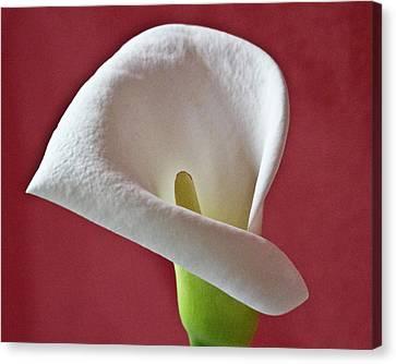 White Calla Canvas Print by Heiko Koehrer-Wagner