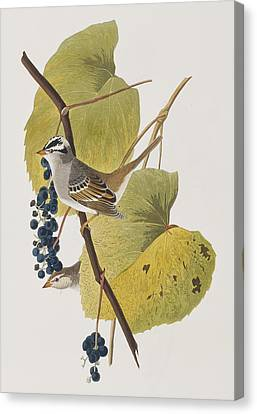 White-crowned Sparrow Canvas Print by John James Audubon