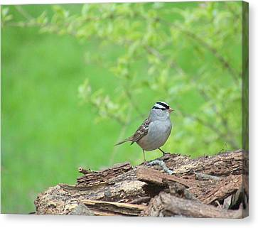 White Crowned Sparrow Canvas Print by Rosanne Jordan