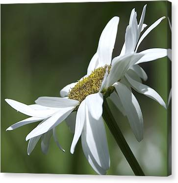 White Daisy Canvas Print by Svetlana Sewell