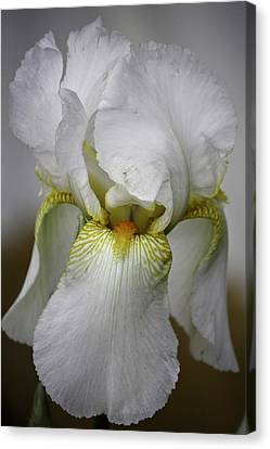 White Iris Canvas Print by Teresa Mucha