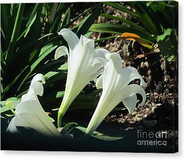 White Lily. Canvas Print by Joyce Woodhouse