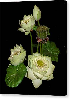 Canvas Print featuring the photograph White Lotus Blossoms by Merton Allen