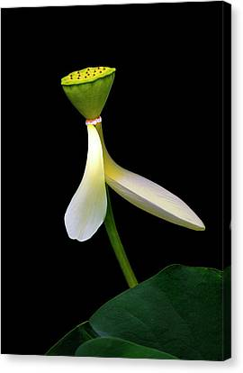 Canvas Print featuring the photograph White Lotus by Thanh Thuy Nguyen