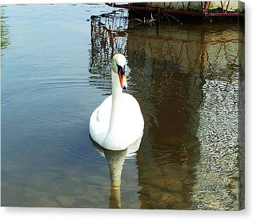 White North American Mute Swan Canvas Print by Alex Roussinov