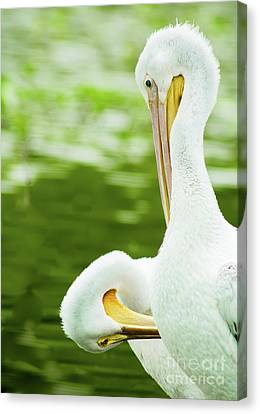 Cabin Window Canvas Print - White Pelican Pair Preening by Robert Frederick