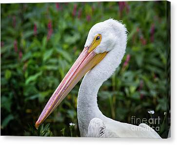 White Pelican Canvas Print by Robert Frederick