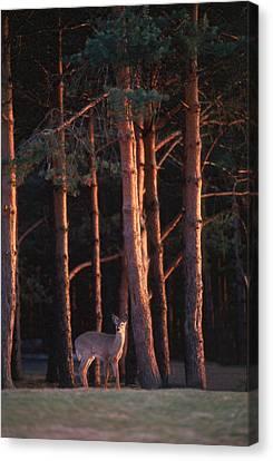 White-tail Deer Canvas Print by Raju Alagawadi