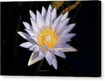 Canvas Print featuring the photograph White Water Lily by Steve Stuller