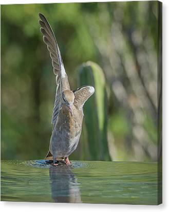 White-winged Dove 3475 Canvas Print by Tam Ryan