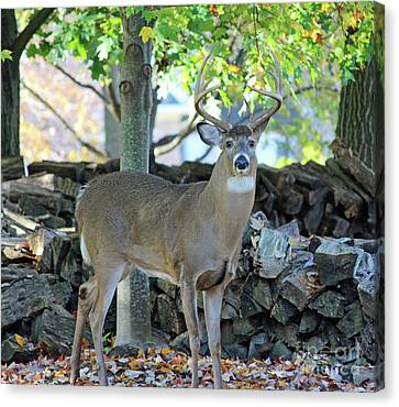 Whitetail Deer Canvas Print by Steve Gass