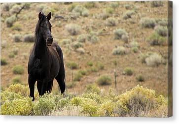 Wild Black Mustang Stallion Canvas Print