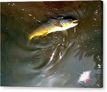 Wild Brown Trout Canvas Print by Mike Shepley DA Edin