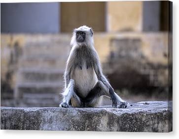 wild monkey in Rajasthan - India Canvas Print by Joana Kruse