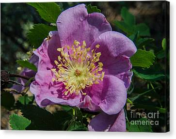 Wild Rose Bloom Canvas Print by Rex Wholster
