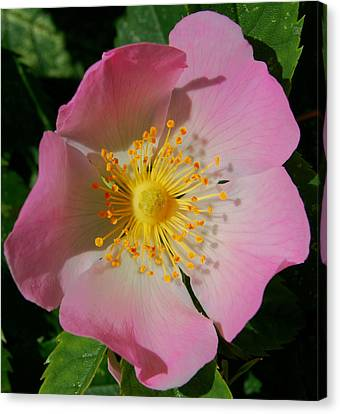 Canvas Print featuring the photograph Wild Rose by Marilynne Bull