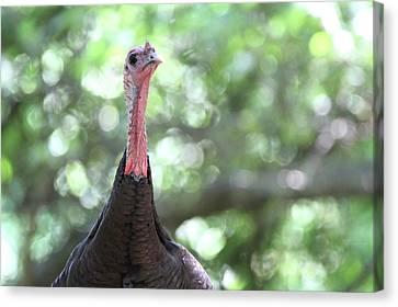 Wild Turkey Sag Harbor New York Canvas Print by Bob Savage