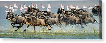 Wildebeests Connochaetes Taurinus Canvas Print by Panoramic Images