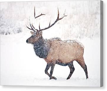 Winter Bull Canvas Print by Mike Dawson