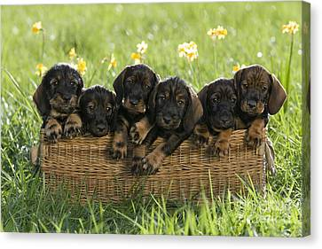 Litter Mates Canvas Print - Wire-haired Dachshund Puppies by Jean-Louis Klein & Marie-Luce Hubert
