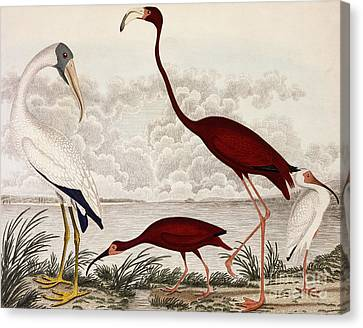 Ibis Canvas Print - Wood Ibis, Scarlet Flamingo, White Ibis by Alexander Wilson