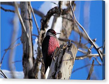 Wood Pecker Canvas Print by Jeff Swan