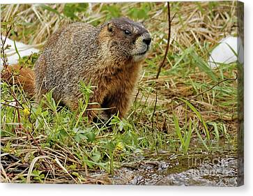 Canvas Print - Yellow-bellied Marmot by Natural Focal Point Photography
