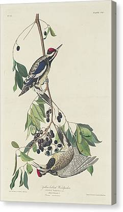 Yellow-bellied Woodpecker Canvas Print by John James Audubon