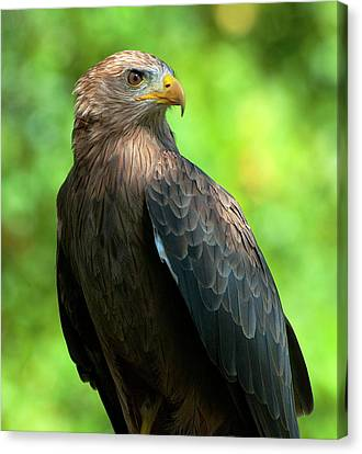 Yellow-billed Kite Canvas Print