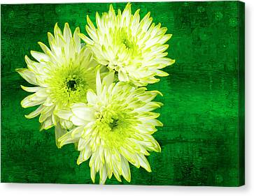 Yellow Chrysanthemums On A Green Background. Canvas Print by Paul Cullen