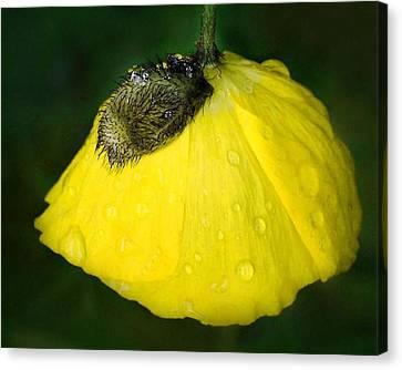 Yellow Poppy Canvas Print by Marilynne Bull
