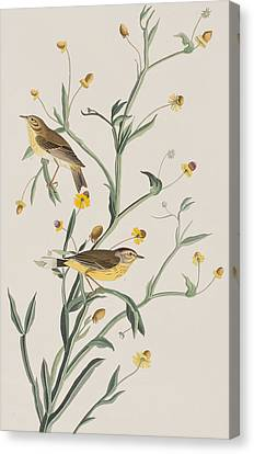Yellow Red-poll Warbler Canvas Print by John James Audubon