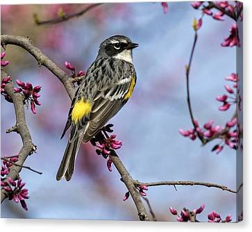 Yellow-rumped Warbler Canvas Print by Eric Mace