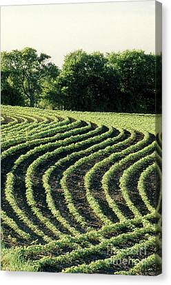 Young Soybean Plants Canvas Print