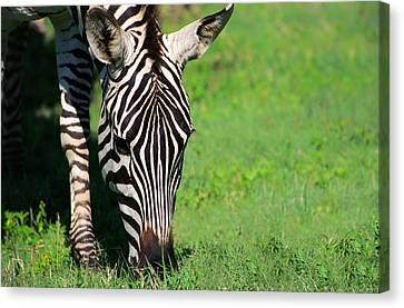 Zebra Canvas Print by Sebastian Musial