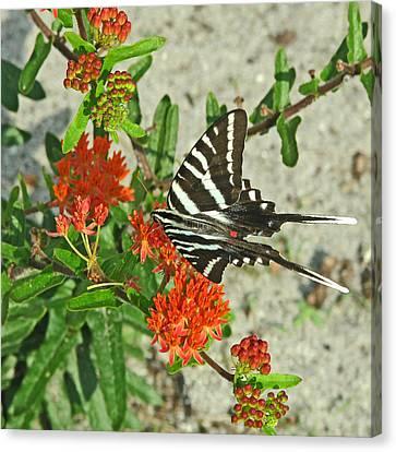 Canvas Print featuring the photograph Zebra Swallowtail by Peg Urban