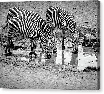 Canvas Print featuring the photograph Zebras At The Watering Hole by Marion McCristall