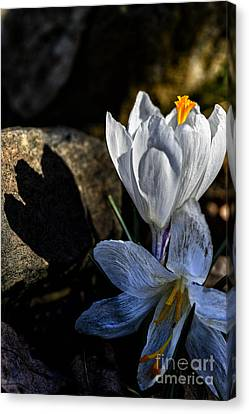 Early Spring Canvas Print - Crocus In Bloom by Thomas R Fletcher