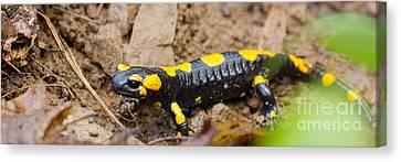 Fire Salamander Canvas Print by Jivko Nakev