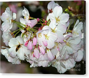Silicon Valley Cherry Blossoms Canvas Print