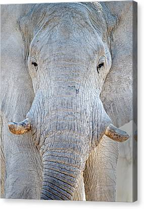 Elephant Canvas Print - African Elephant Loxodonta Africana by Panoramic Images