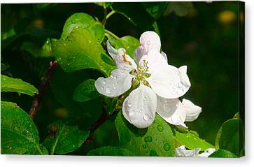 Apple Blossoms Canvas Print by Johanna Bruwer
