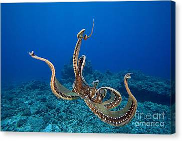 Jet-propelled Canvas Print - Hawaii, Day Octopus by Dave Fleetham - Printscapes