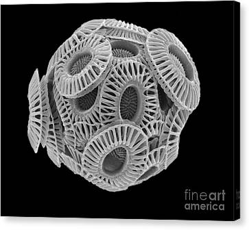 Calcareous Phytoplankton Canvas Print - Calcareous Phytoplankton, Sem by Steve Gschmeissner