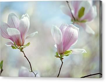 Magnolia Flowers Canvas Print by Nailia Schwarz