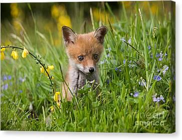Red Fox Vulpes Vulpes Canvas Print