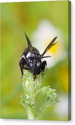 Bee Canvas Print by Andre Goncalves