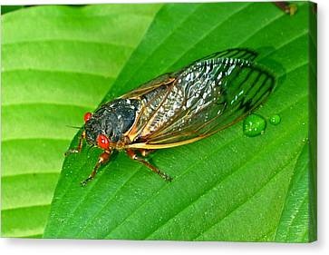 17 Year Periodical Cicada Canvas Print by Douglas Barnett